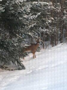 Stop feeding deer in Maine