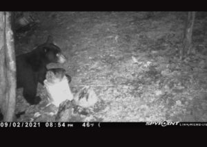 Trail camera photo of the bear before setting off the trap